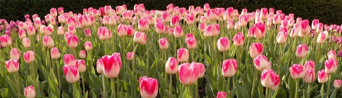 tulip_pano_15001